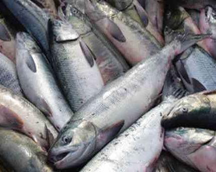 Kjøp Laks (salmon)
