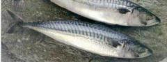 Makrell (mackerel)